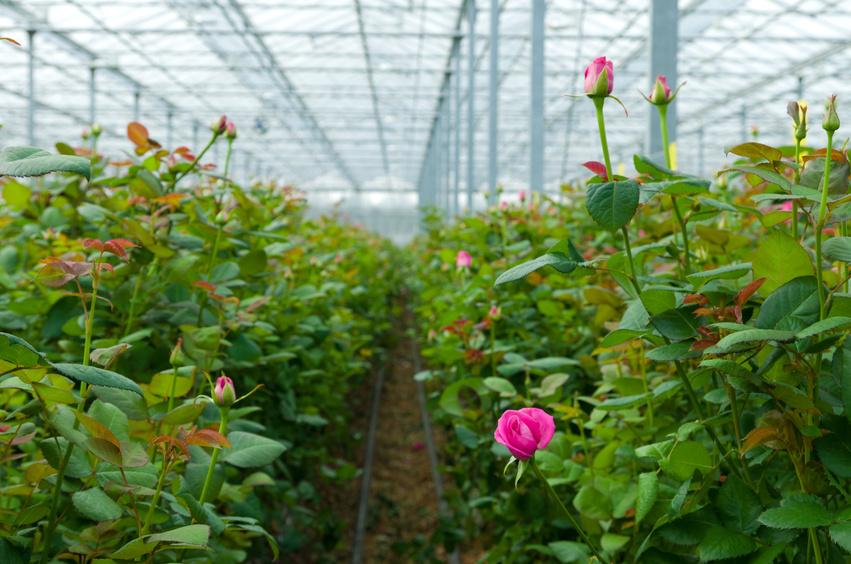 Azur Roses Producteur fleur fraiche Var