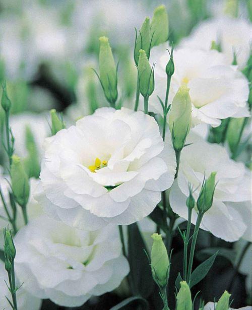 Azur Roses producteur fleur Var lysianthus