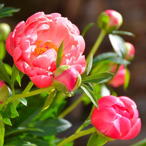 pivoines-azur-roses-producteur de fleur toulon-var