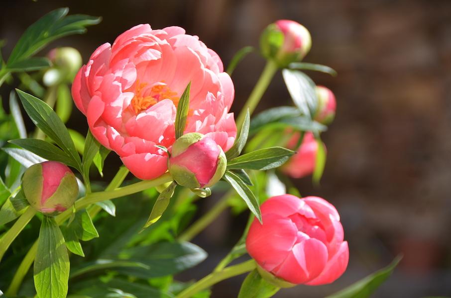 Azur Roses: Producteur de pivoines dans le Var