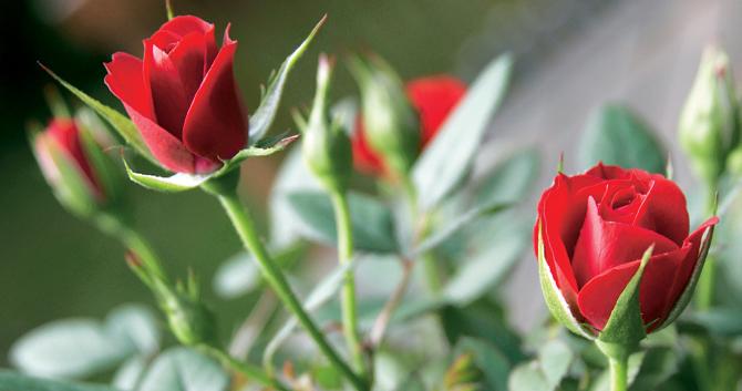 rose_rouge-producteur-azur-roses-var