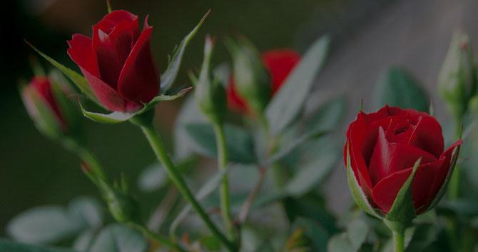 rose fete des mère producteur fleur Azur Roses Toulon Var